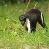 Dianaapa - Diana monkey (Cercopithecus diana) 2