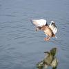 Gräsand - Mallard (Anas platyrhynchos) 26
