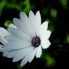 Skär solvisare - Trailing pink daisy