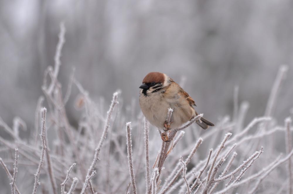 photoblog image Pilfink - Eurasian Tree Sparrow (Passer montanus)
