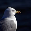 Gråtrut - European Herring Gull (Larus argentatus)