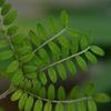 Påsköträdet - Toromiro (Sophora toromiro)