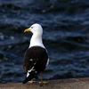 Silltrut - Lesser Blackbacked Gull (Larus fuscus)