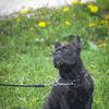Fransk Bulldog - French Bulldog