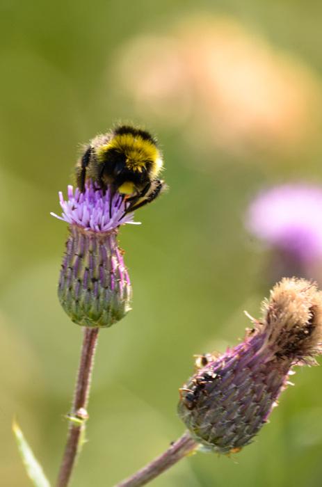 photoblog image Ängshumla - Early Bumblebee (Bombus pratorum)
