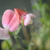 Luktärt - Sweet pea 'Painted lady' (Lathyrus odoratus)