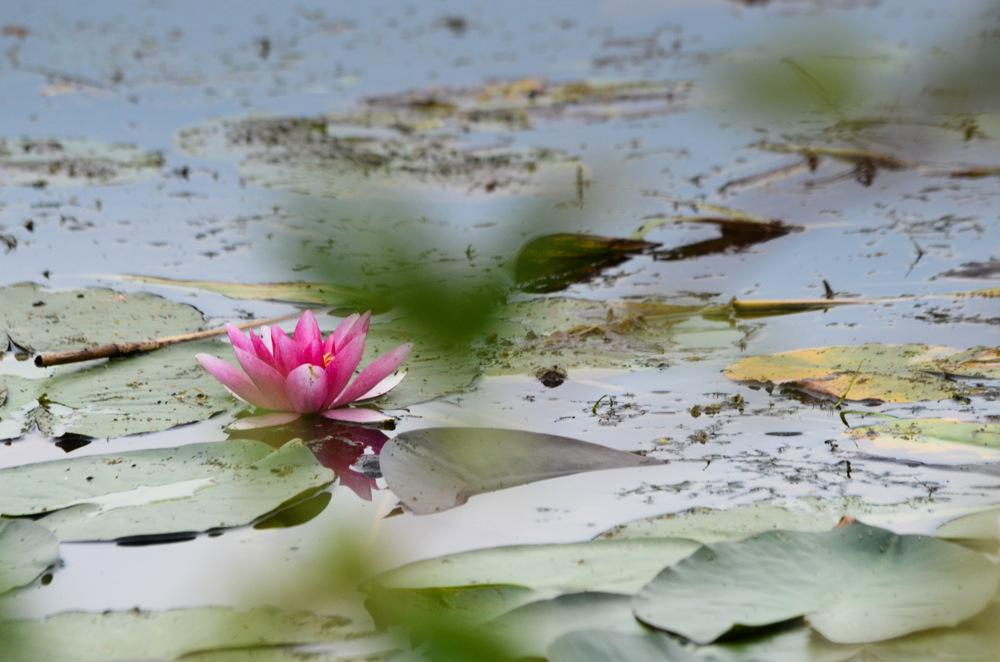 photoblog image Näckros - Waterlily (Nymphaea)