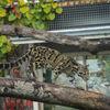 Trädleopard - Clouded leopard (Neofelis nebulosa)