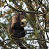 Gulbröstad Kapuchin - Golden-bellied Capuchin