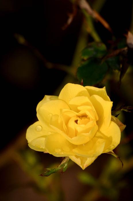 photoblog image Ros - Rose