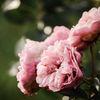 Ros - Rose