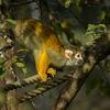 Svarthövdad dödskalleapa - Black-capped squirrel monk