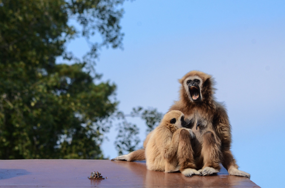 photoblog image Vithandad Lar - Lar gibbon (Hylobates lar)