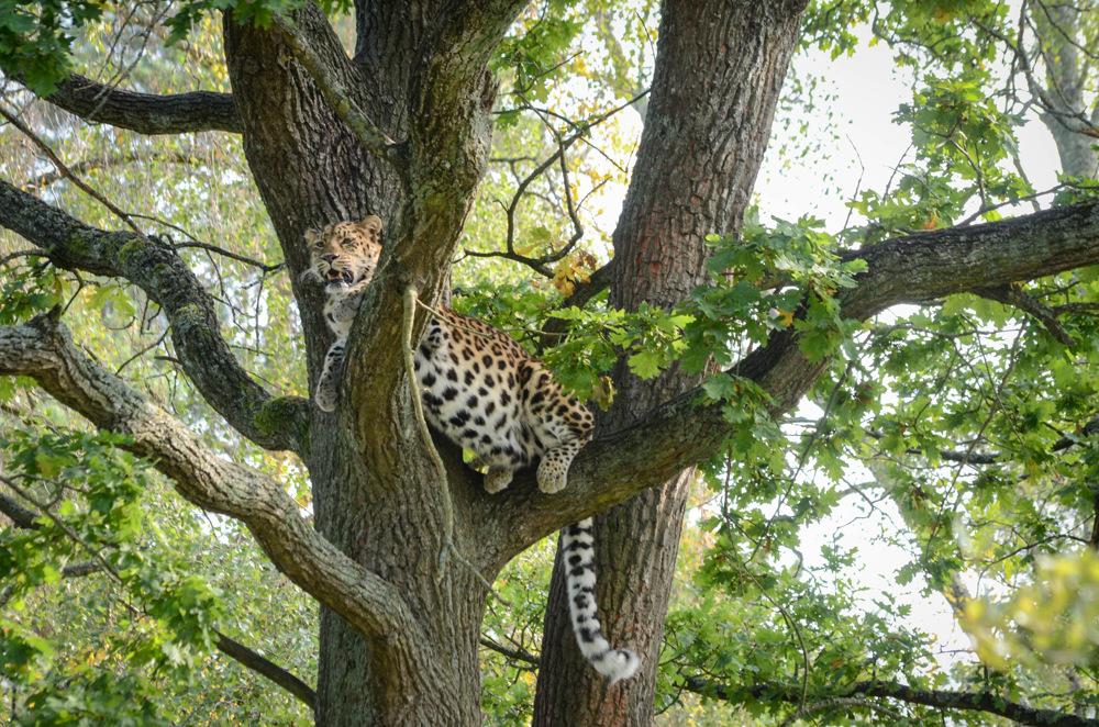 photoblog image Amurleopard - Amur Leopard (Panthera pardus orientalis)