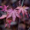 Japansk lönn - Japanese maple (Acer palmatum)