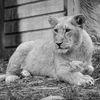 Asiastiskt lejon - Asiatic lion (Panthera leo persica)