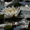 Näckros - Waterlily (Nymphaea)