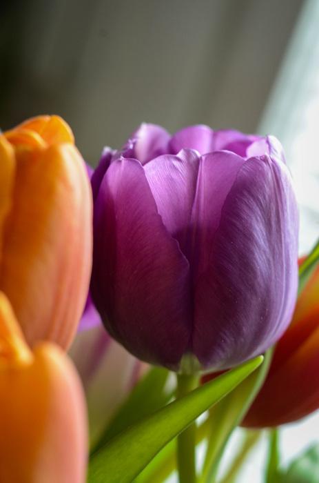 photoblog image Tulpan - Tulip (Tulip)