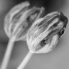 Tulpan - Tulip (Tulip)