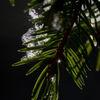 Gran - Norway Spruce (Picea abies)
