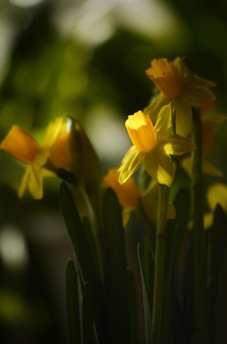 photoblog image PÃ¥sklilja - Daffodil (Narcissus)