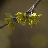 Körsbärskornell - Dogwood (Cornus mas)