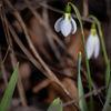 Snödroppe - Snowdrop (Galanthus)
