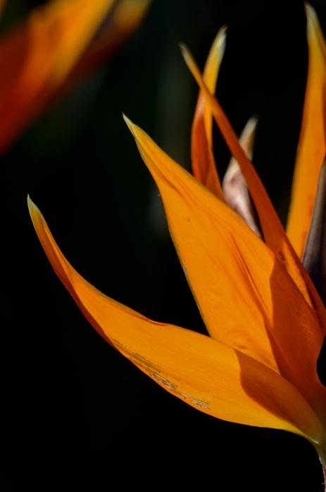 photoblog image Strelitzia reginae