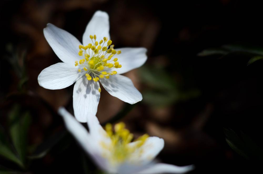 photoblog image Vitsippa - Wood anemone (Anemone nemorosa)