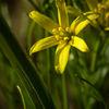 Vårlök - Yellow Star-of-Bethlehem (Gagea lutea)