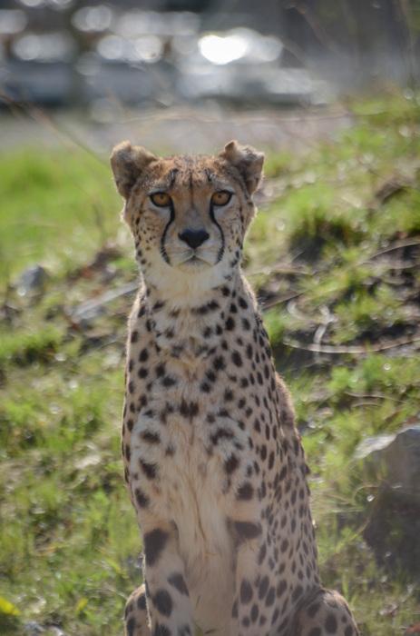 photoblog image Gepard - Cheetah (Acinonyx jubatus)