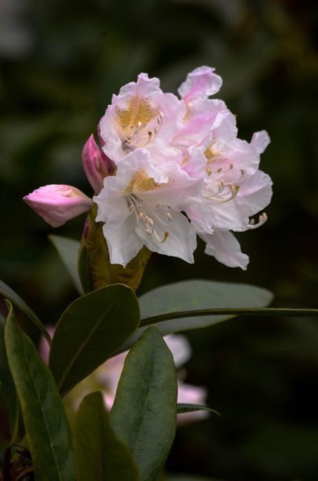 photoblog image Rhododendron catawbiense 'Cunningham's White'