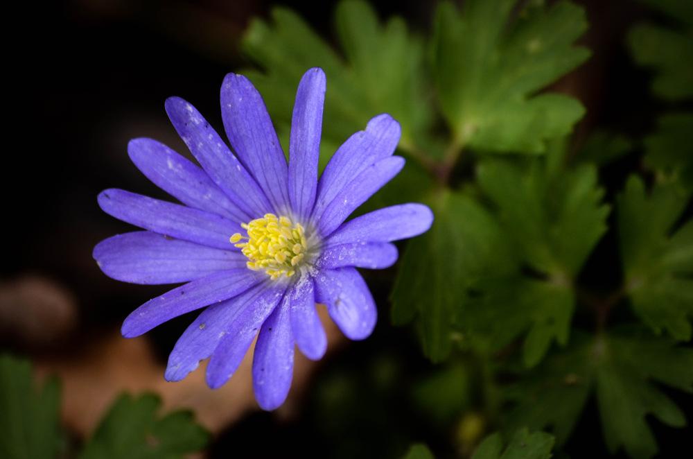 photoblog image Balkansippa - Balkan anemone (Anemone blanda)