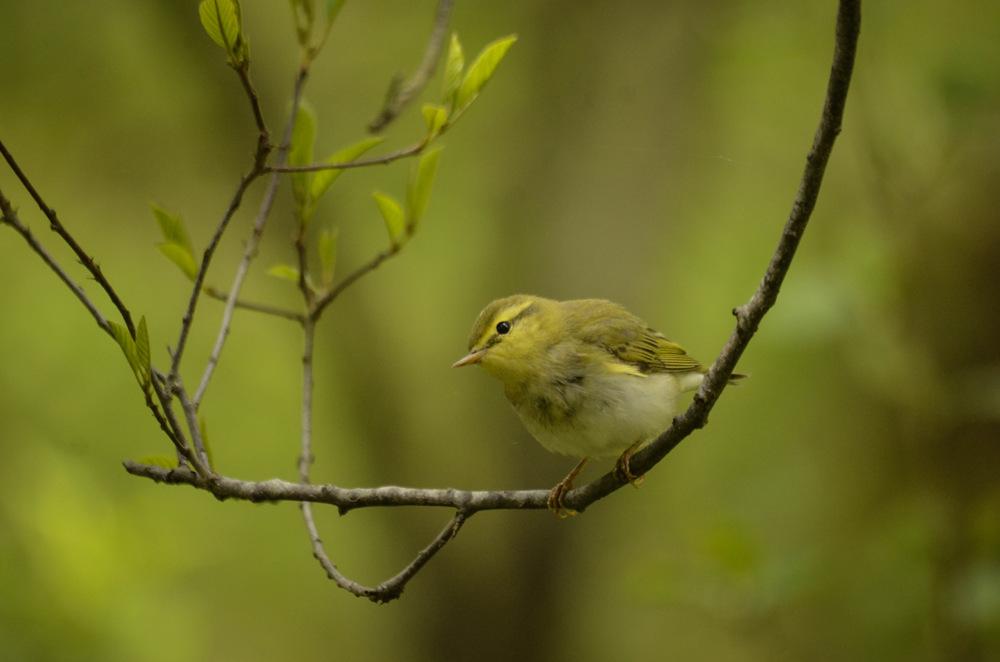 photoblog image Grönsångare - Wood warbler (Phylloscopus sibilatrix)