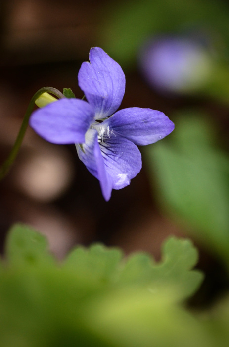 photoblog image Skogsviol - Common dog-violet (Viola riviniana)