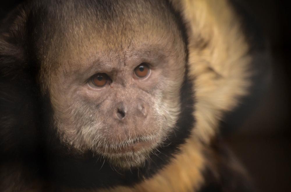 photoblog image Gulbröstad kapucin - Golden-bellied capuchin