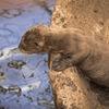 Jätteutter unge - Giant otter cub