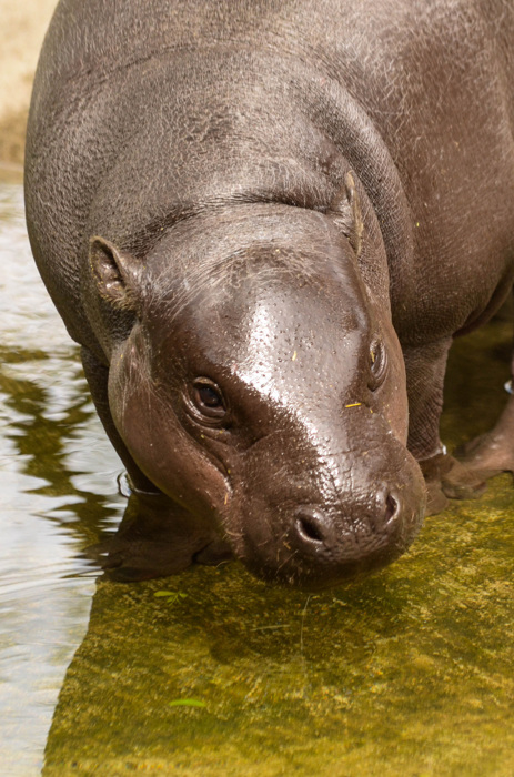 photoblog image Dvärgflodhäst - Pygmy hippopotamus