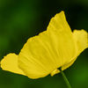Engelsk vallmo - Welsh Poppy (Meconopsis cambrica)