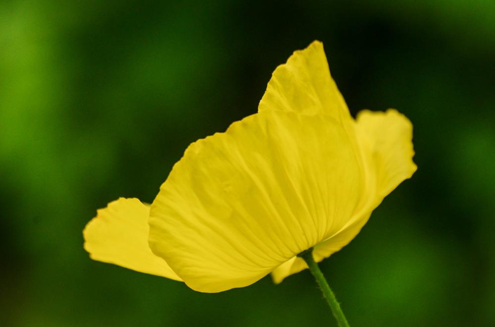 photoblog image Engelsk vallmo - Welsh Poppy (Meconopsis cambrica)