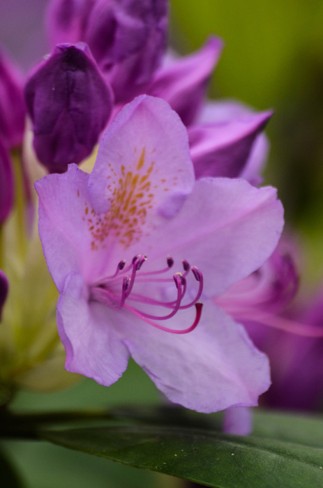 photoblog image Rhododendron