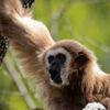 Vithandad gibbon - Lar gibbon (Hylobates lar)