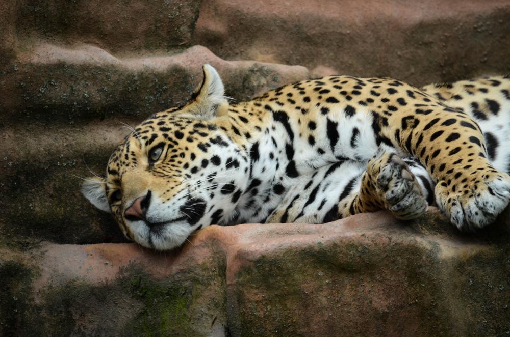 photoblog image Jaguar (Panthera onca)