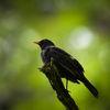 Koltrast - Eurasian Blackbird (Turdus merula)