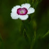 Dianthus deltoides 'Artic fire'