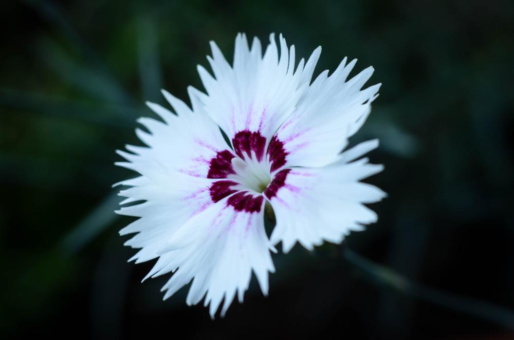 photoblog image Dianthus plumarius 'Marieberg'
