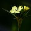 Dianthus knappii 'Yellow harmony'