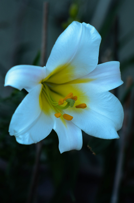 photoblog image Kungslilja - King's lily (Lilium regale)