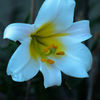 Kungslilja - King's lily (Lilium regale)