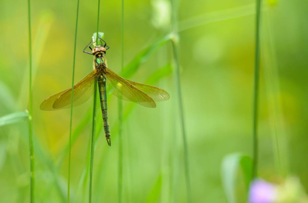 photoblog image Metalltrollslända - Brilliant emerald